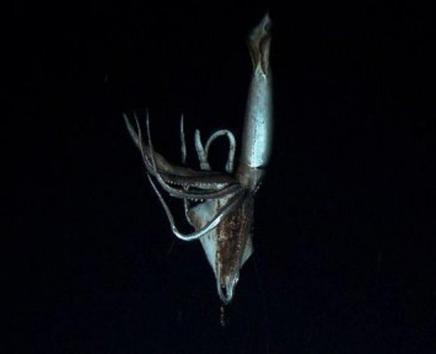 Giant Squid Caught on Tape 1