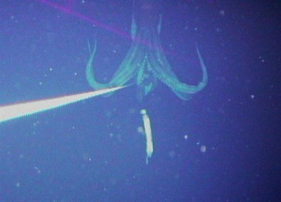 Giant Squid Caught on Tape 2