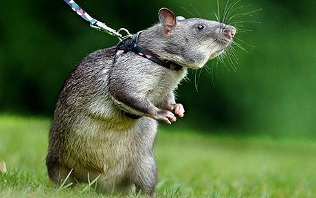 Kofi trained Gambian rat 1 Top Amazing Stories About Rescue Animals Pictures Seen on www.VyperLook.com