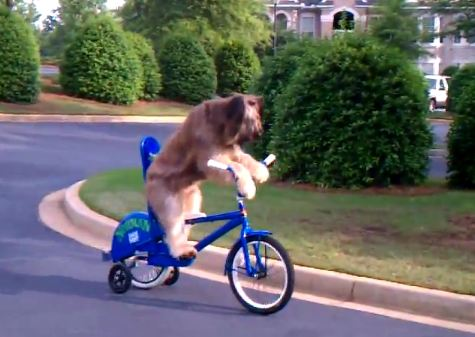 Norman bike riding dog 1