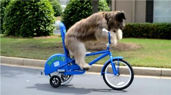 Norman bike riding dog 5