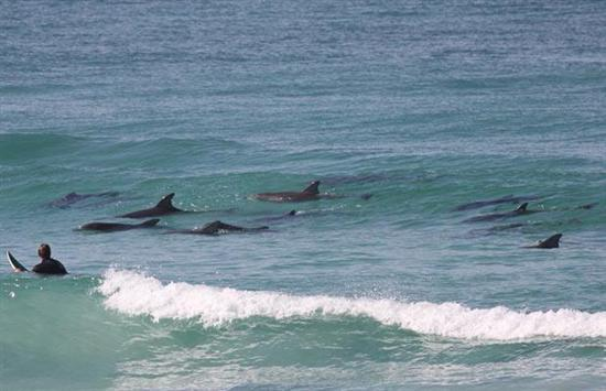 surfer-dolphins