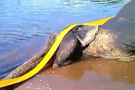 elephant drowning 4