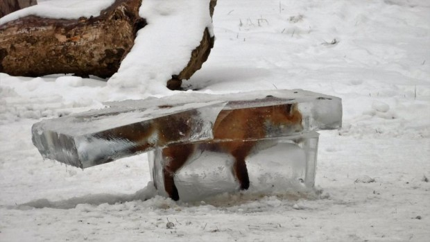 frozen fox in ice cube