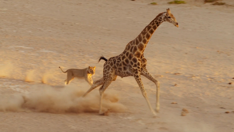 giraffe survives lion attack