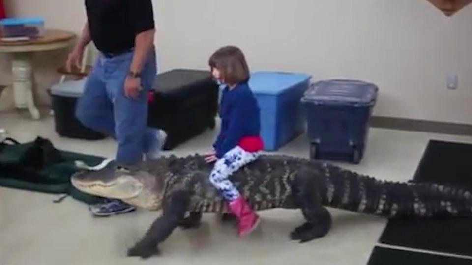 horrifying moment young girl rides on the back of an eight foot alligator