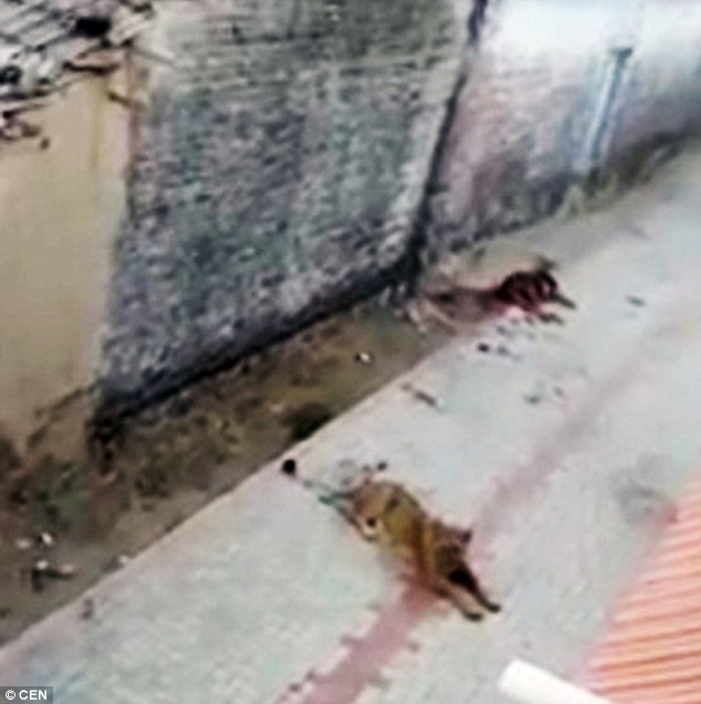 lioness killed a cow in India