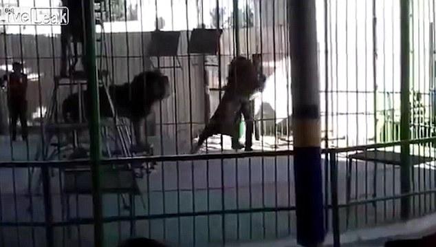 tamer savaged by lion