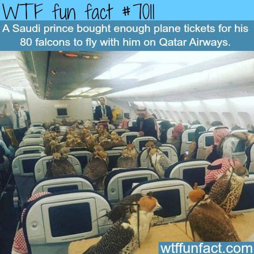 80 falcons on a plane