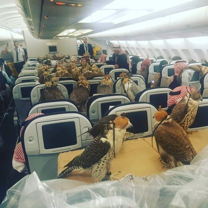 80 giant falcons on a plane