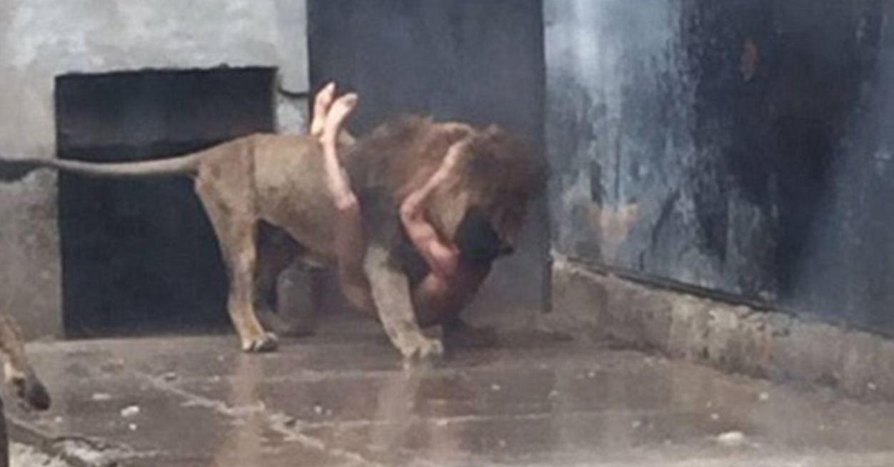 suicidal man mauled by lion