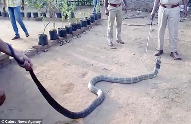 cobra drinks water from a bottle given by a villager