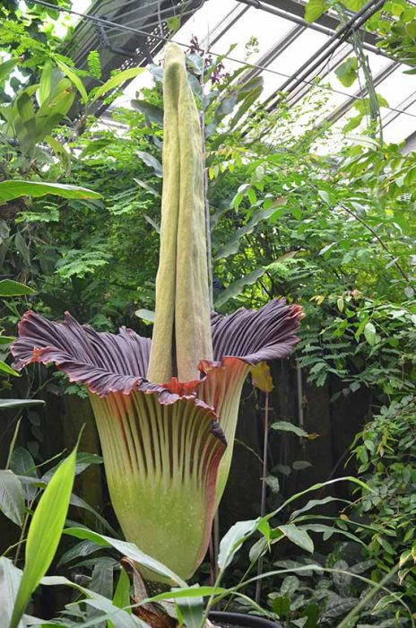 the corpse flower smelliest flower in the world 464x700