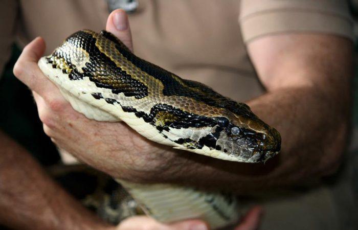 huge python captured in moscow trash bag 700x450