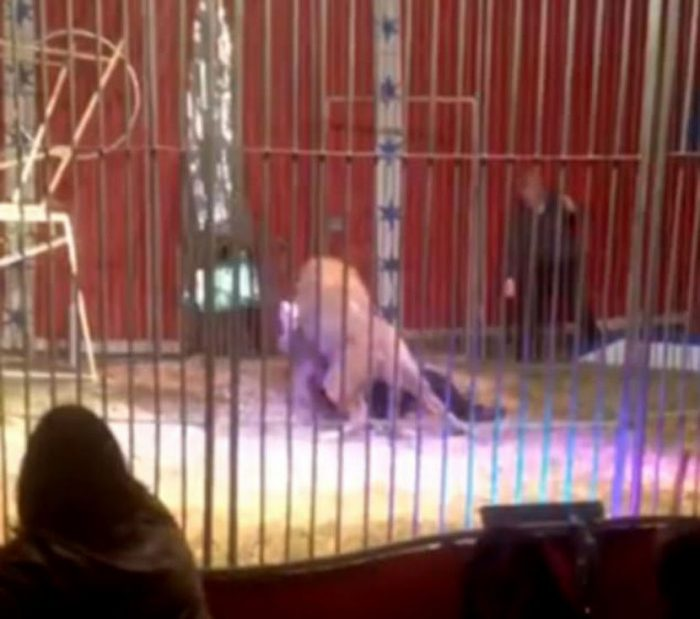 lion attacked tamer in france 700x619