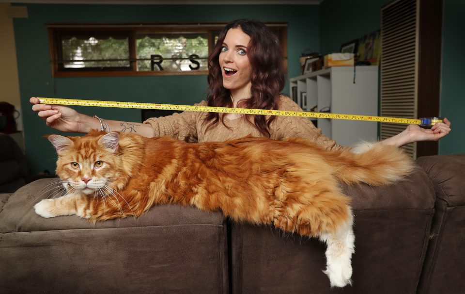 the biggest and longest cat in the world