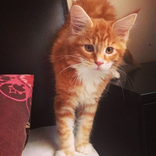 omar the biggest cat as a kitten