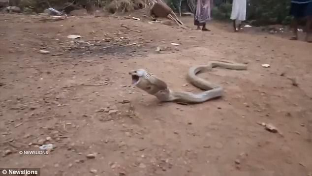 cobra swallowed a plastic bottle
