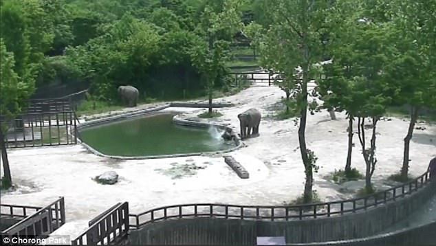calf slipping into pool saved by adults elephant