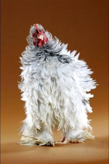 246242funny chicken 1