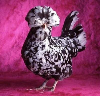 246242funny chicken 3