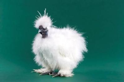 246242funny chicken 5