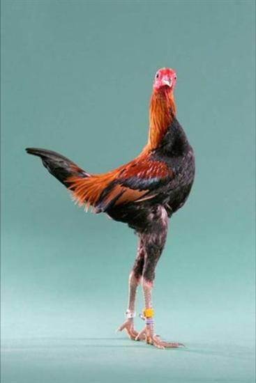 246242funny chicken 7