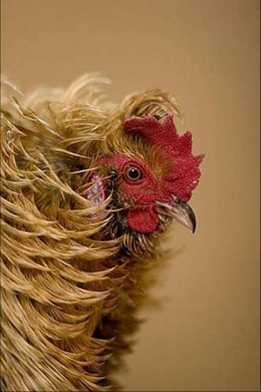 246242funny chicken 8