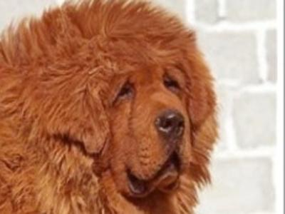 438289the most expensive dog15 million