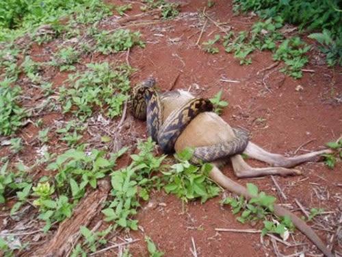 589163snake eating kangaroo 002