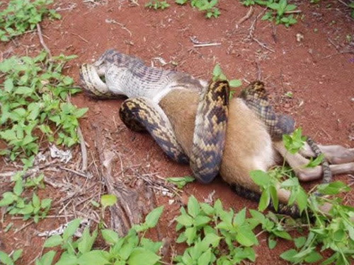 589163snake eating kangaroo 004