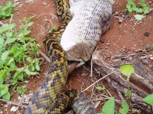 589163snake eating kangaroo 009 Pythons Eating Extremly Large Animals Pictures Seen on www.VyperLook.com