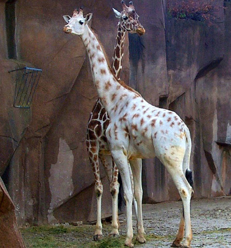 820333albino giraffe 1sfw