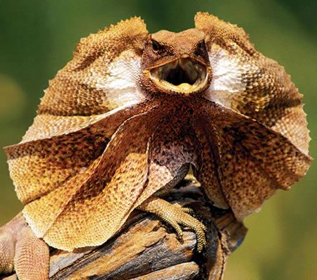 866034a304 Frilled Lizard