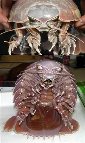 866034a304 Giant Isopod