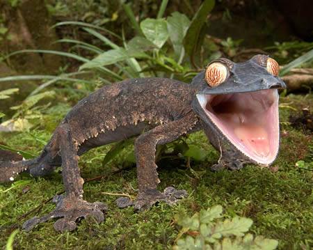 866034a304 Giant leaf tailed Gecko