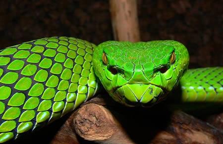 866034a304 green pit viper