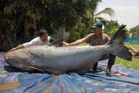 927054giantcatfish