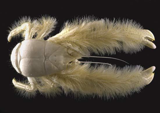 927054yeti crab